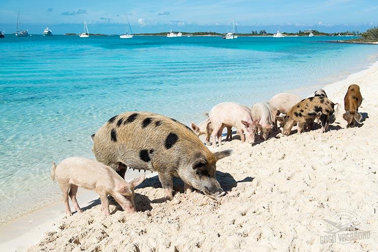 Raj za svinje